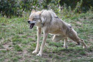Weihnachtsmarkt Zahngesundheit Halle Wolf brüllt